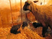 Shepherd's Watch for Lambs at Grand View Farm