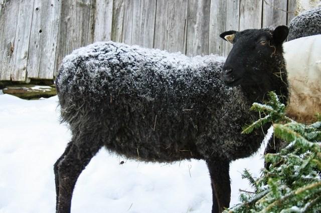 Bred Gotland Ewe