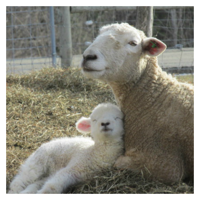 The Gift of Lambing: Woolful Guest Post