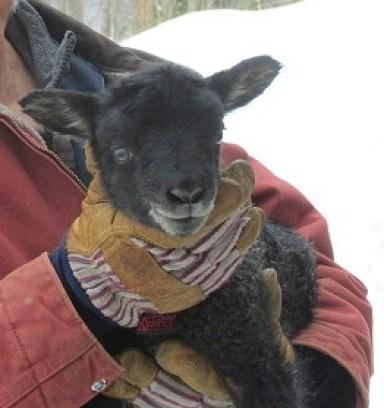 Vermont's first Gotland lamb
