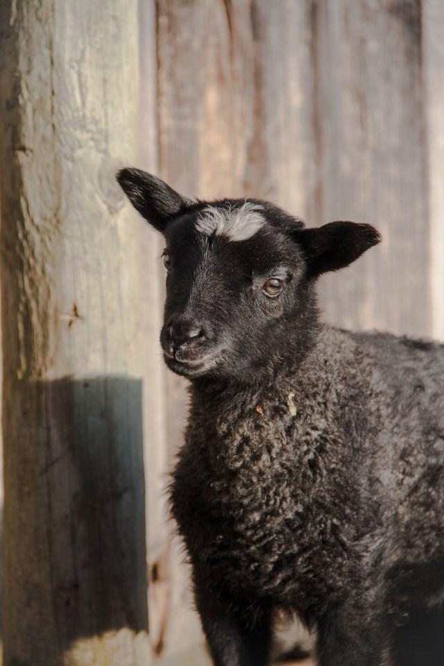 Jari Gotland Ram Lamb