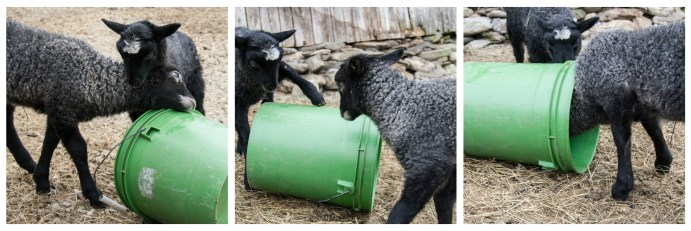 Gotland lambs play with a bucket .