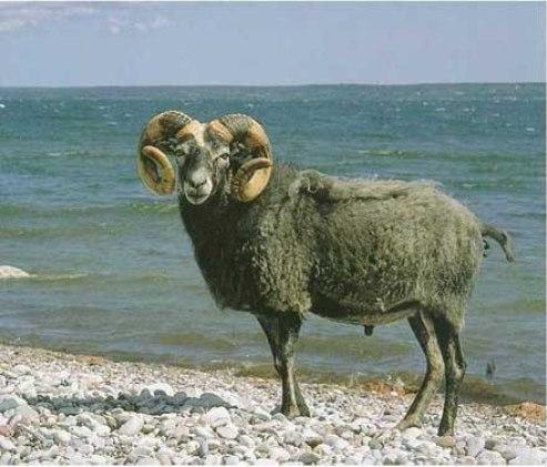 Gute sheep