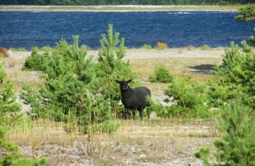 Gotland Sheep Grazing on Faro