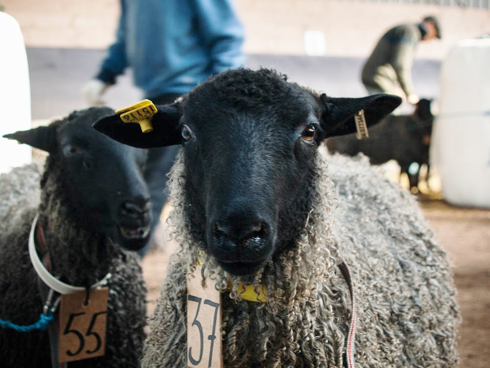 Christmas for Sheep People-Sweden's Gotland Ram Auction