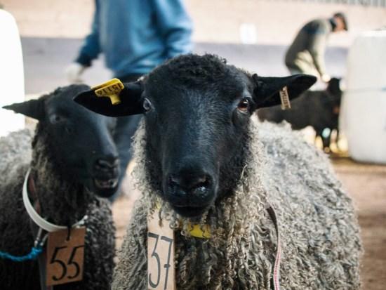 Ram Auction Gotland Island, Sweden