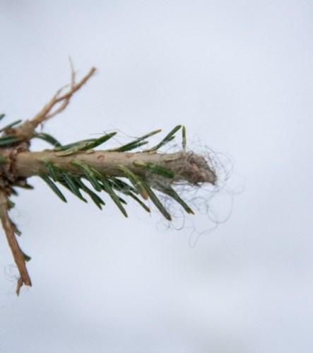 Wool Left on Tree