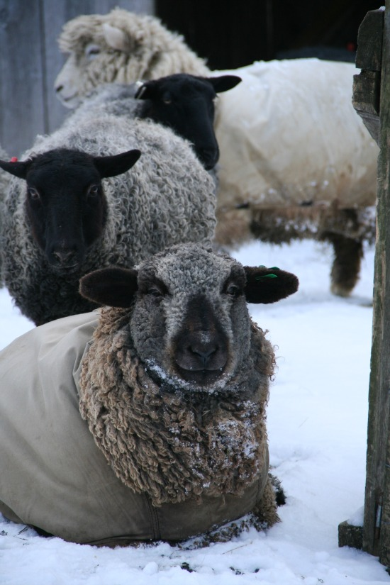 The Challenge of Keeping Two Breeds of Sheep