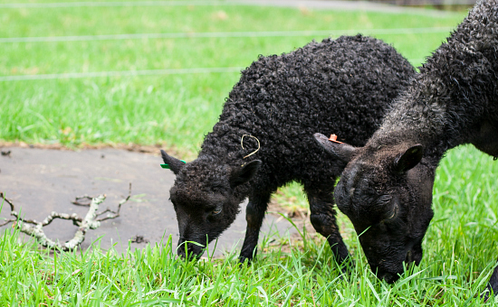 Tips for Transitioning Sheep to Pasture