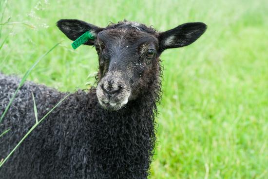 weaning a bottle lamb