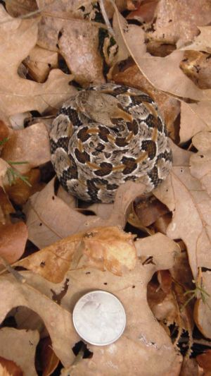 Newborn timber rattlesnake