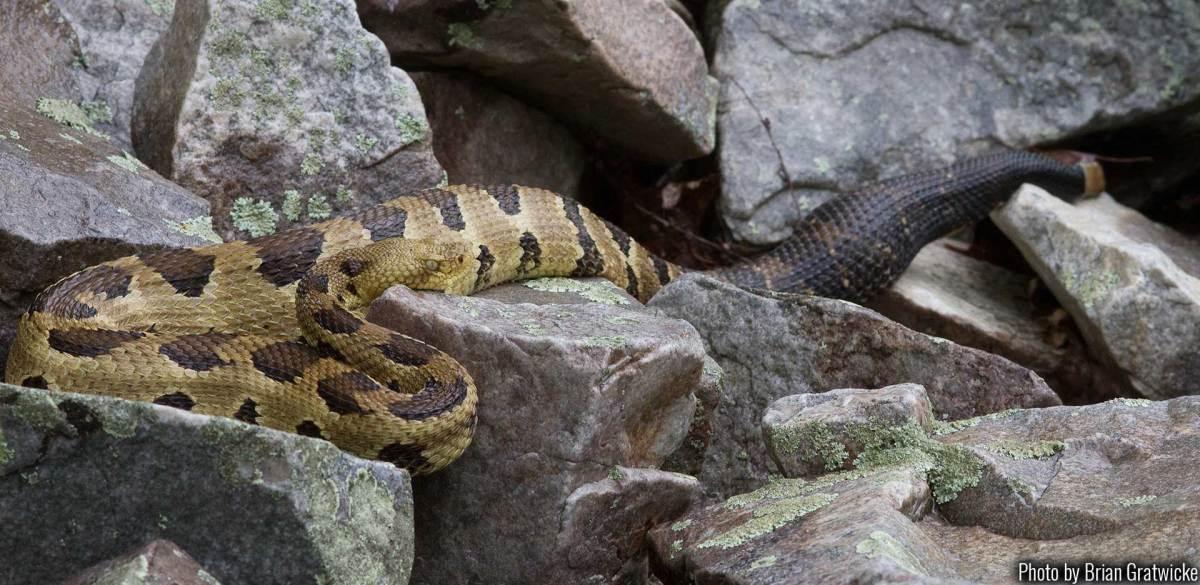 Timber rattlesnake, photo courtesy of Brian Gratwicke