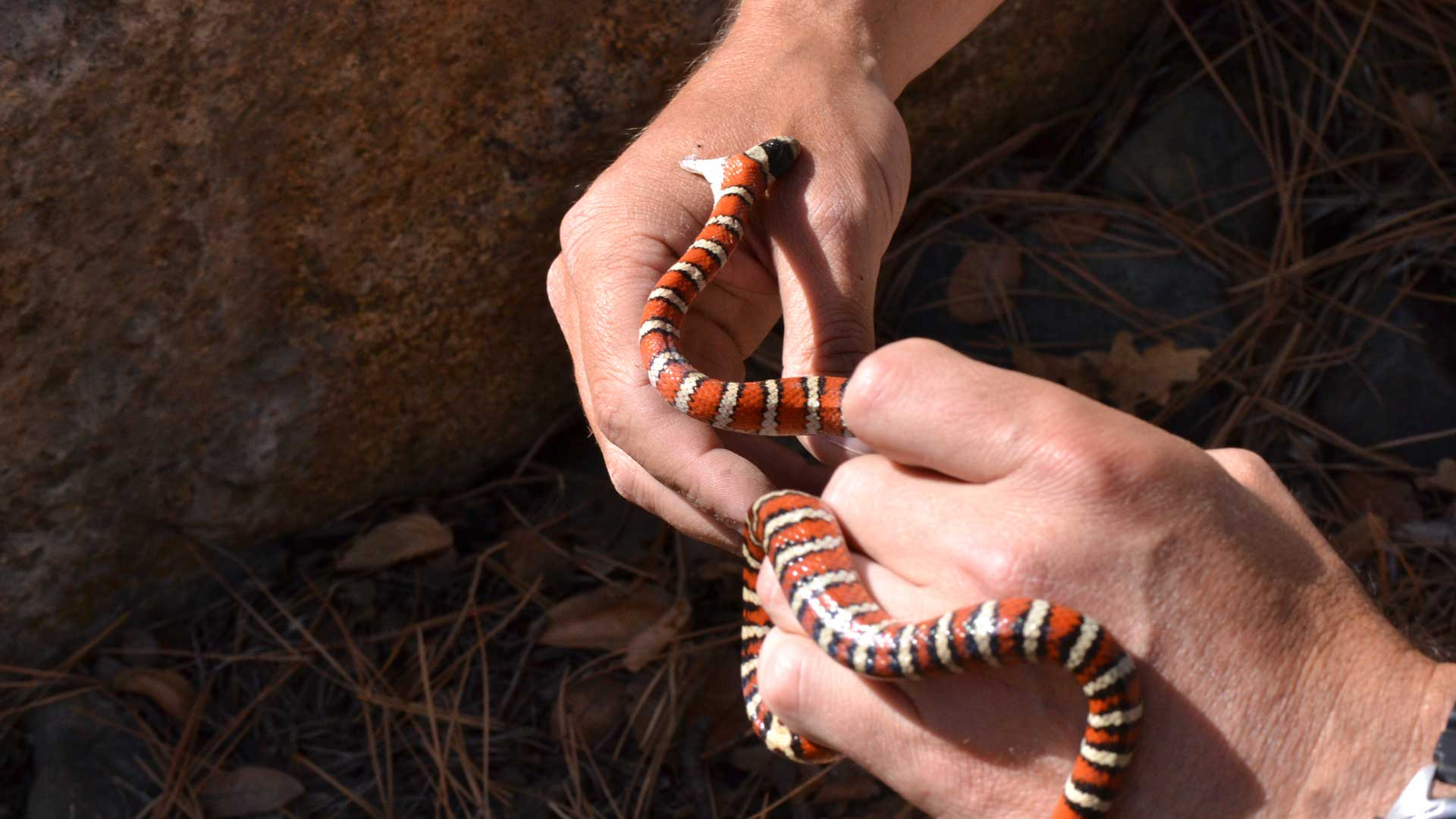 Sonoran mountain kingsnake biting handler