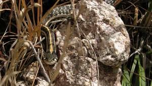 black-necked gartersnake