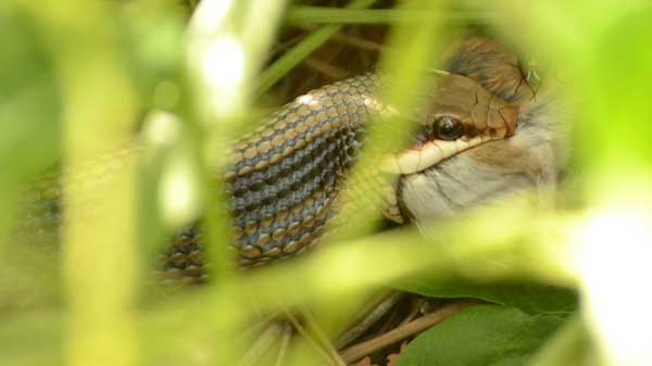 An Eastern Patch-nosed Snake eating a rodent