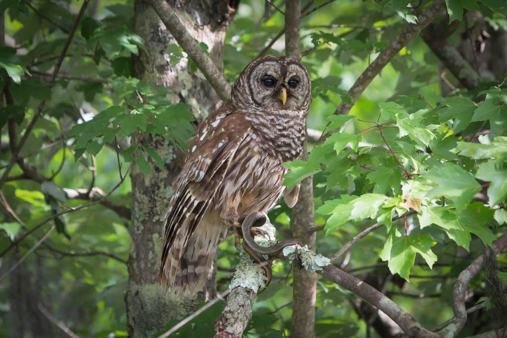 Barred Owl with a snake photographed by Julie Dermansky.