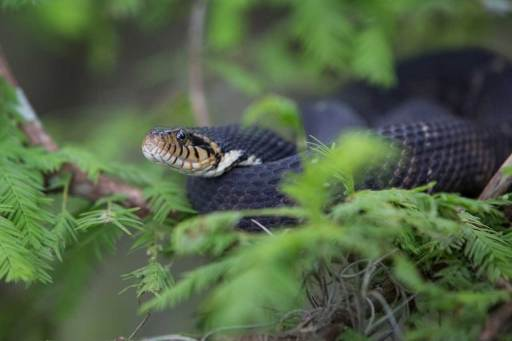 Southern Watersnake photographed by Julie Dermansky.