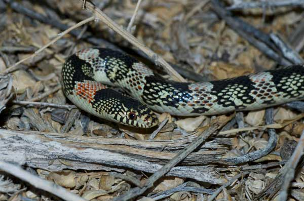 A timid Long-Nosed Snake, photographed by Ceal Klingler.