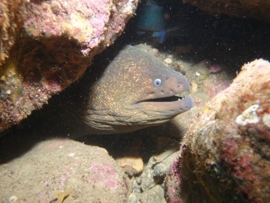 California moray - Gymnothorax mordax