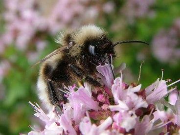 Marjoram Bee