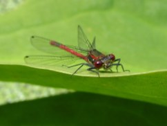Pondfly