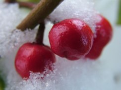 Snowberries