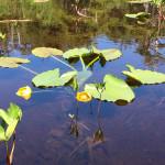 Yellow Pond Lily, native perennial Alakasan