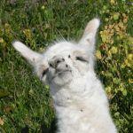 sleeping llama