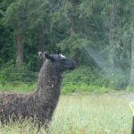 llama keeping cool, sprinkler