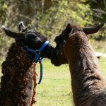 saving llamas, llama kiss