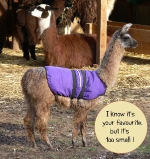 llama wearing winter coat