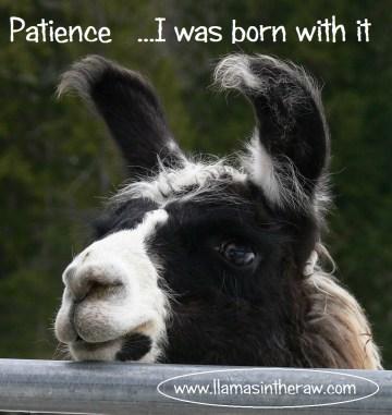 llama patience,