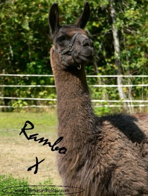 rambo bids farewell, death of a llama