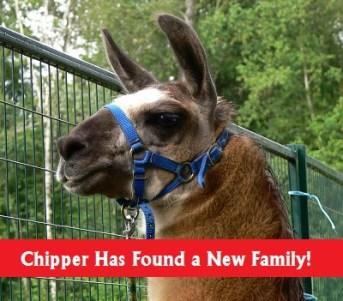 chipper llama rehomed