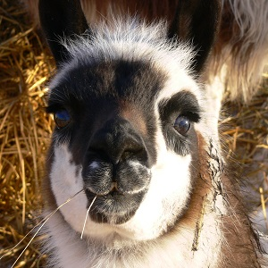contact the llama sanctuary