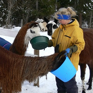 caring for llamas alpacas