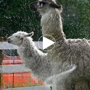 rescue a llama rehome a llama