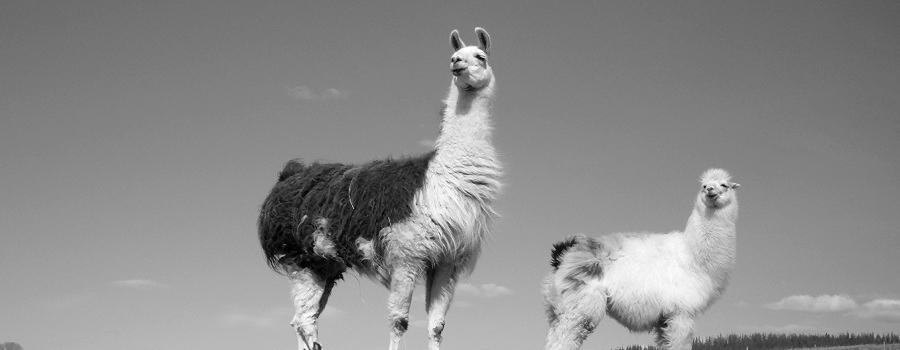 big llama and small llama