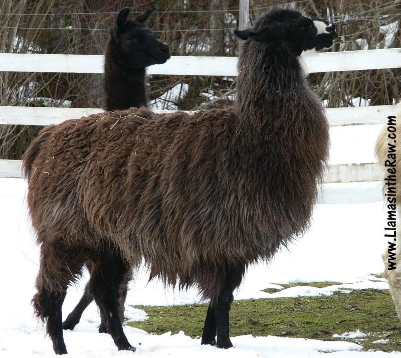 Sirocco llama at The Llama Sanctuary