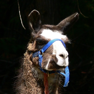 llama abandoned in forest