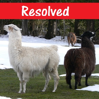 giving a home to a llama, llama rescue