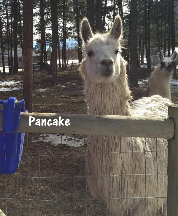 suri genetics in a shaggy coated llama
