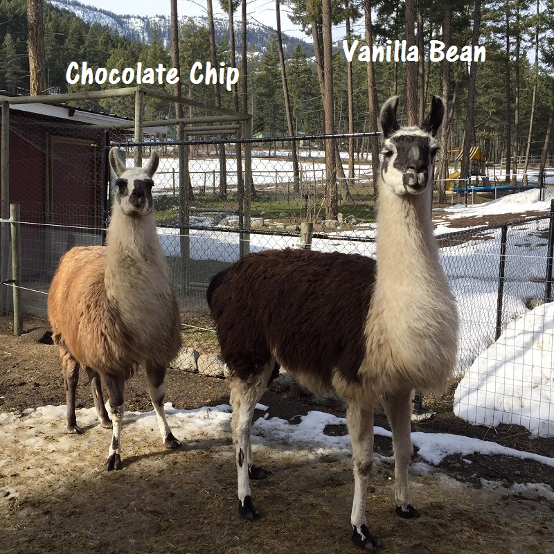 llamas in British Columbia with strong facial markings