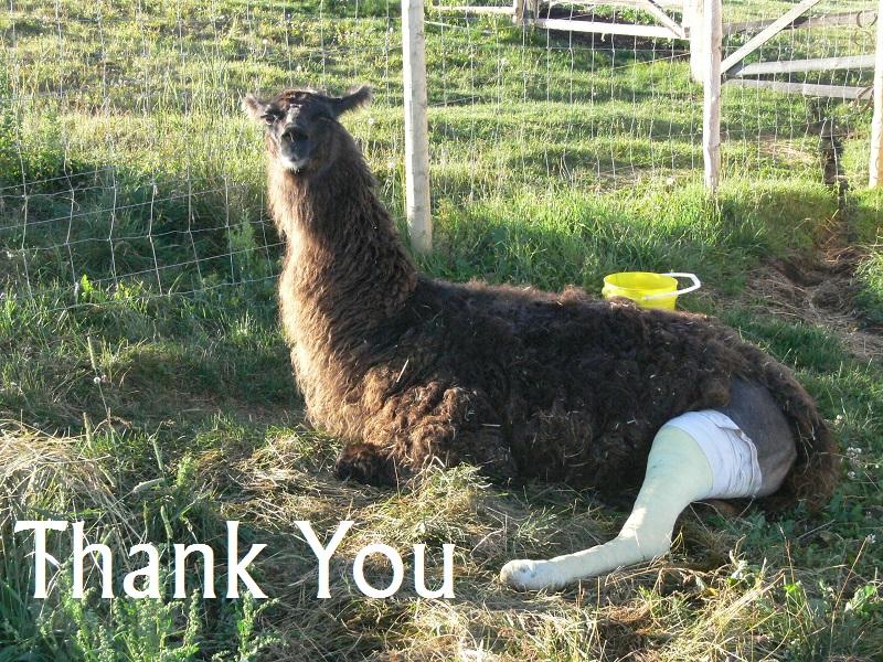 llama with leg in cast