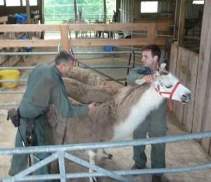 Llama shearing