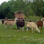 llama neighbours