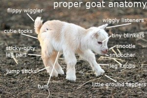 Goats have many different features, here are some of them
