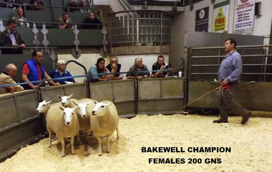 Bakewell Champion Shearlings 200gns