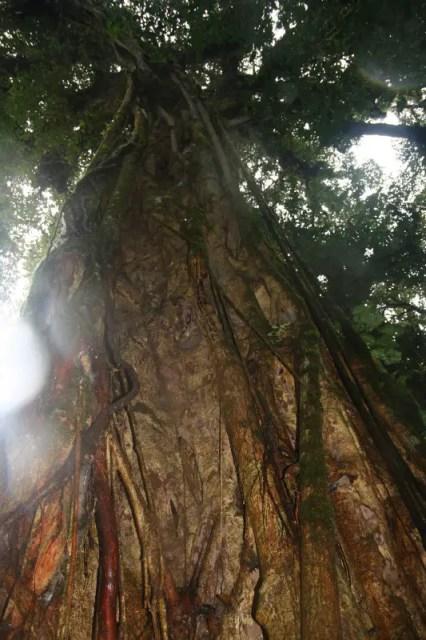 Huge Old Fig Tree