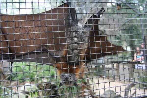 Fox Bat